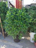 非洲茉莉-绿植租摆