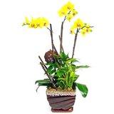 黄色蝴蝶兰-花卉租摆